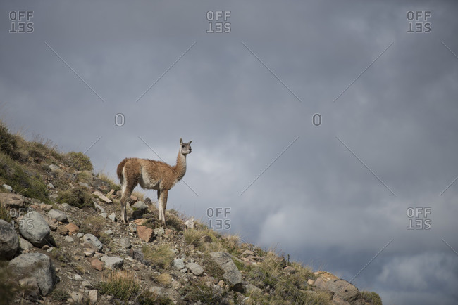 Guanaco standing alone on rocky hill against cloudy sky, Esquel, Chubut, Argentina