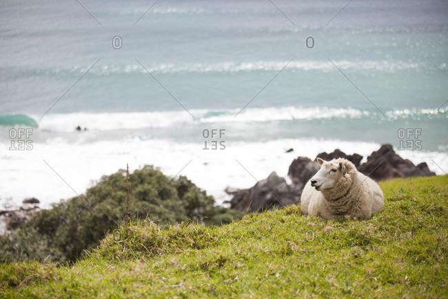 Sheep on pasture at Mount Maunganui, Bay of Plenty, New Zealand