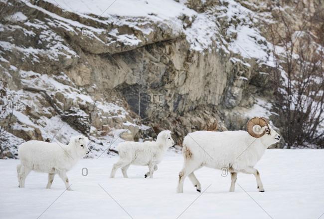 Side view of dall sheep (Ovis dalli) walking on snow, Yukon Territory, Yukon, Canada