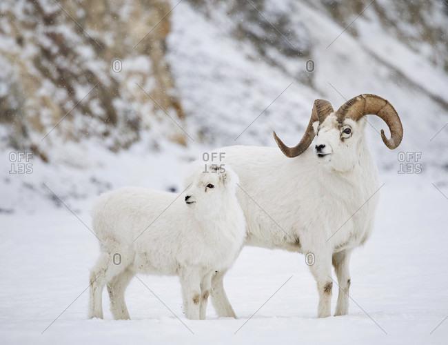 Front view of dall sheep (Ovis dalli) standing on snow, Yukon Territory, Yukon, Canada