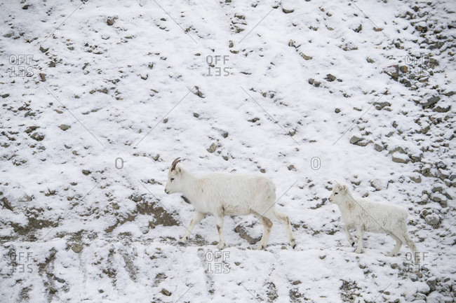 Side view of dall sheep (Ovis dalli) walking on hill in snow, Yukon Territory, Yukon, Canada