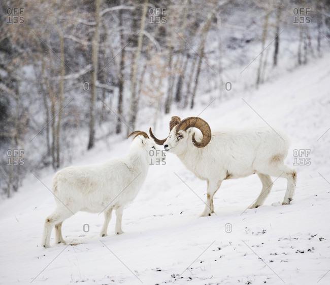 Side view of dall sheep (Ovis dalli) standing on snow, Yukon Territory, Yukon, Canada