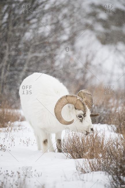 Dall sheep (Ovis dalli) standing on snow, Yukon Territory, Yukon, Canada