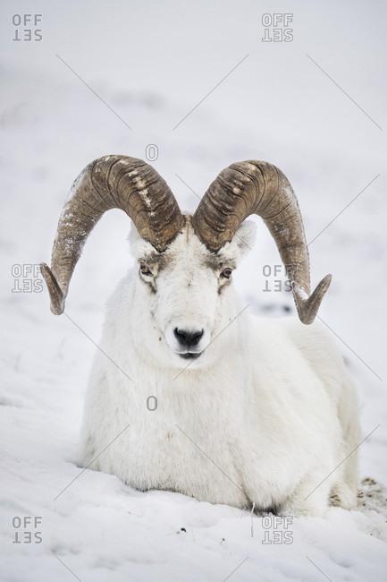 Portrait of dall sheep (Ovis dalli) lying on snow, Yukon Territory, Yukon, Canada