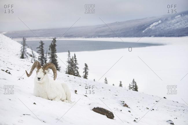 Front view of dall sheep (Ovis dalli) lying on hill in snow, Yukon Territory, Yukon, Canada