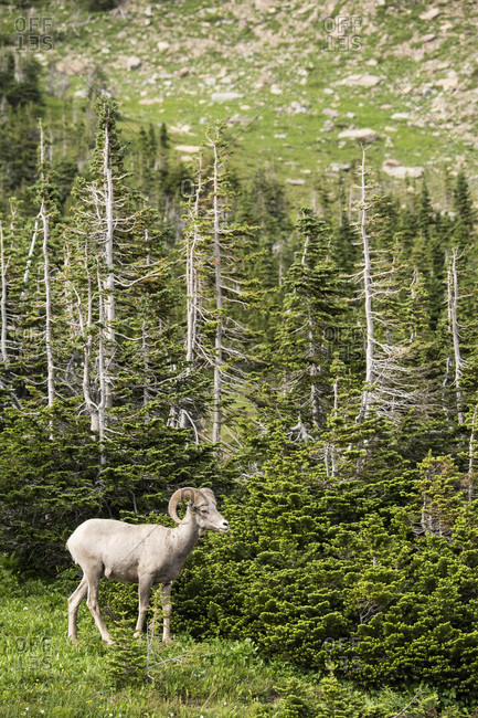 Side view of big horned sheep (Ovis canadensis) in Glacier National Park, Montana, USA