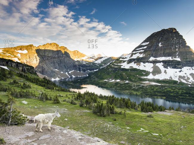 Mountain goat (Oreamnos americanus) at Hidden Lake, Glacier National Park, USA