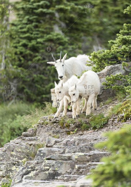 Family of mountain goats (Oreamnos americanus) walking in Glacier National Park, Montana, USA