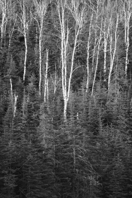 Natural scenery with bare birch trees in forest, Keene Valley, New York State, USA