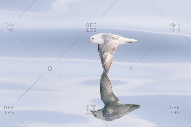Single fulmar bird flying above water surface, Iceland