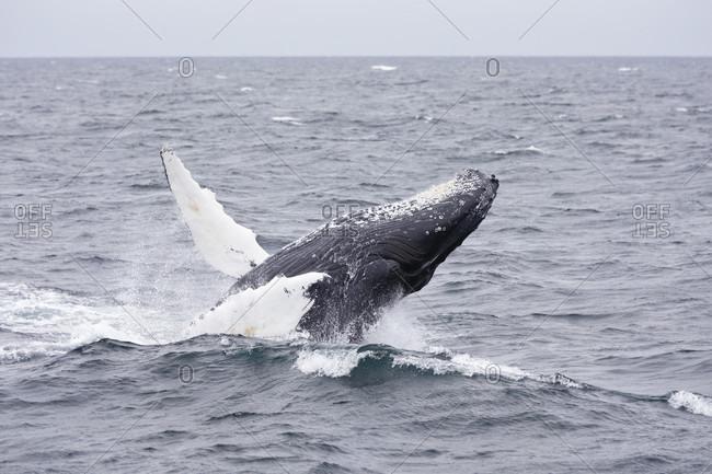 Humpback whale breaching in Stellwagen Bank National Marine Sanctuary off coast of Cape Cod Massachusetts, USA