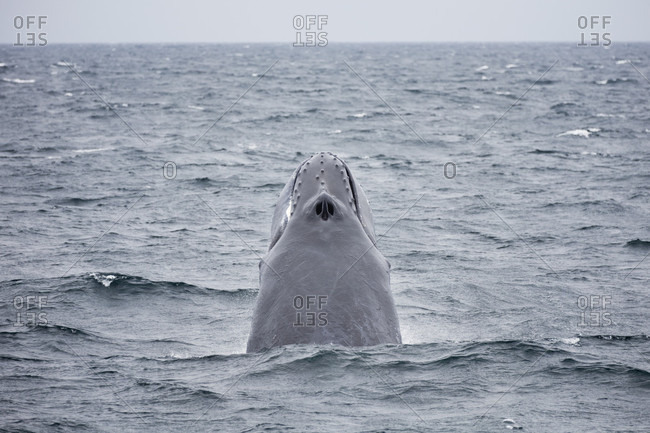 Humpback whale with head up in Stellwagen Bank National Marine Sanctuary off coast of Cape Cod Massachusetts, USA