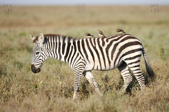 Side view of zebra with wattled starling (Creatophora cinerea) birds perching on back, Serengeti National Park, Tanzania