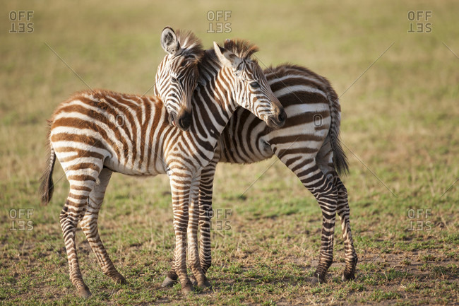 Side view of two young zebra foals, Lake Manyara, Tanzania