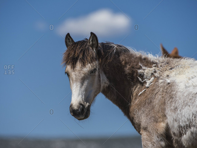 Molting wild foal in Sand Wash Basin, USA