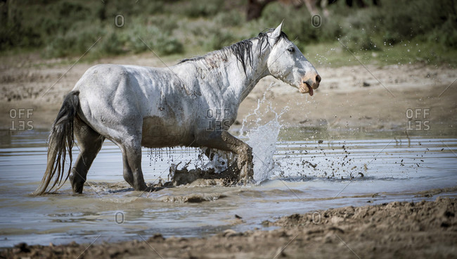 Stunning wild horse at watering hole, Sand Wash Basin, USA