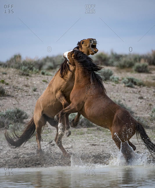 Wild horses fighting at watering hold at Sand Wash Basin, USA
