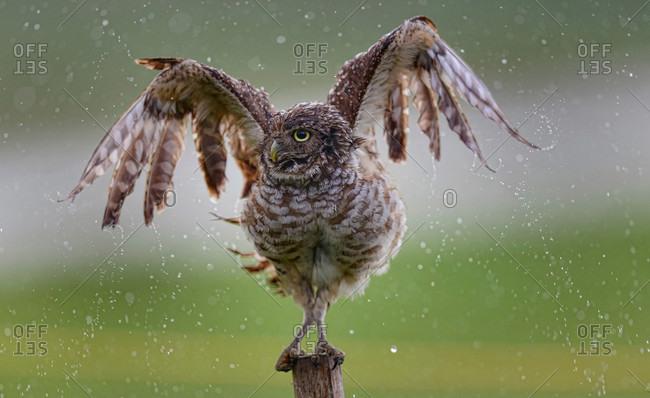 A Florida Burrowing Owl in South Florida