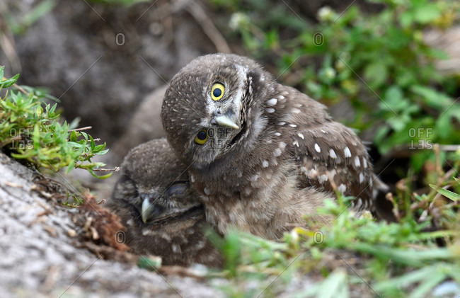 Florida Burrowing Owl hatchlings in South Florida