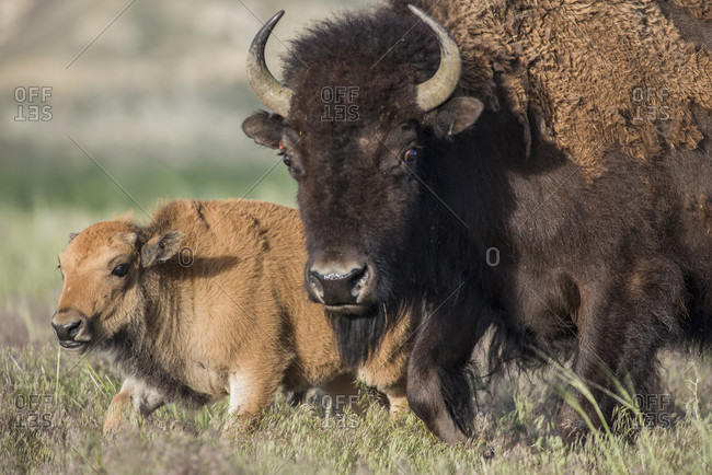 On Wednesday May 3, the first genetically pure bison calf was born on the Wind River Reservation, WY, in over 130 years. This birth follows the return of bison, traditionally called buffalo by Native American tribes, when 10 animals were released last November by the Eastern Shoshone Tribe and the National Wildlife Federation. The calf represents the culmination of years of work to bring this iconic species back as well as the rebirth of the Eastern Shoshones cultural and ecological connections to buffalo.