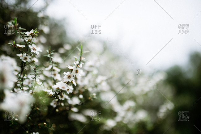 Close up of white wildflowers