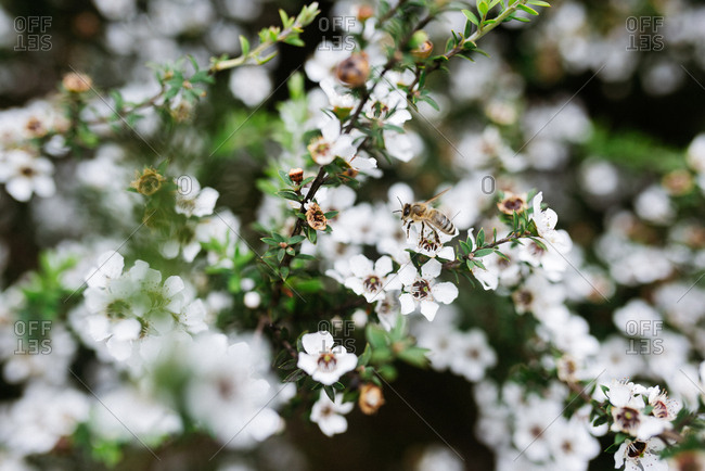 A bee pollinating white wildflowers