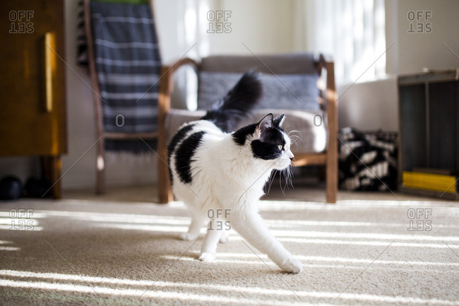 Black and white cat walks across the room
