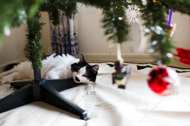 Black and white cat sleeps under the Christmas tree
