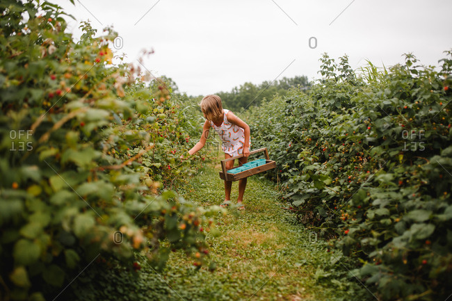 Young girl picks raspberries