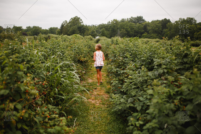 Young girl walks away down a path between raspberry bushes full of fruit