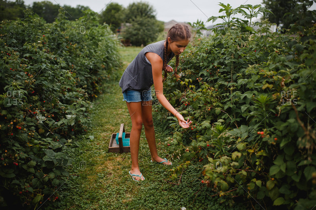 Teenage girl picks raspberries