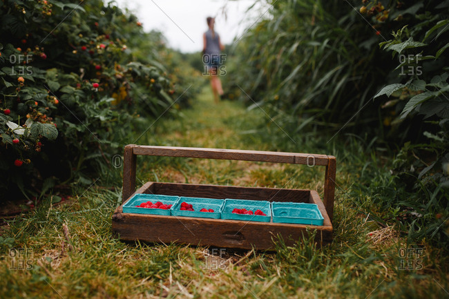 View of a picking tray with some raspberries as a girl walks away