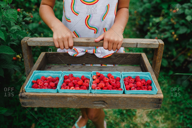 Child holds a picking tray full of ripe raspberries