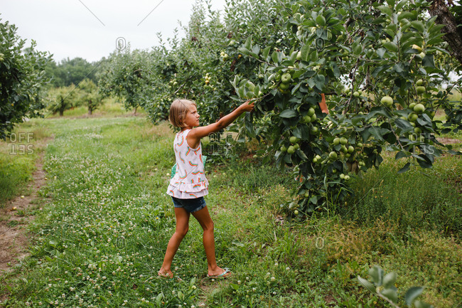 Young girl picks fruit from a tree in an orchard