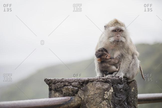Egret monkey with baby