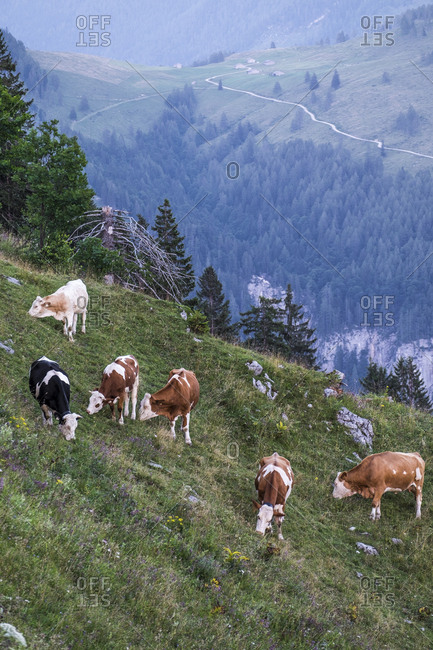 Cows eating grass on Alps mountainside in Austria