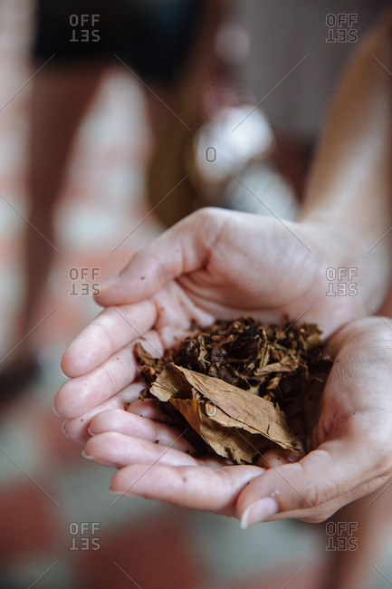 Hands showing a handful of tobacco leaves