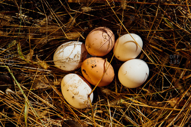 Freshly laid eggs in straw nest
