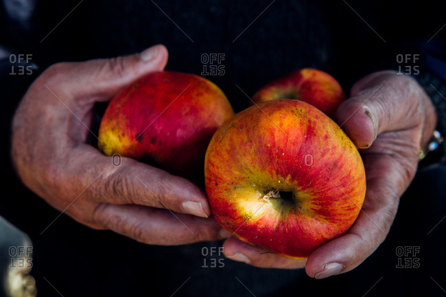 Person holding freshly picked apples