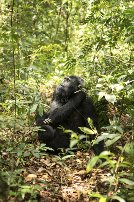 Chimpanzee looking away while relaxing on field amidst plants in forest