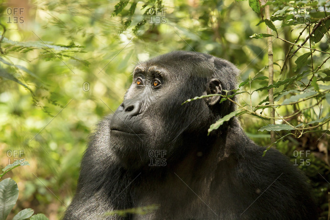 Chimpanzee looking away while sitting amidst plants in forest