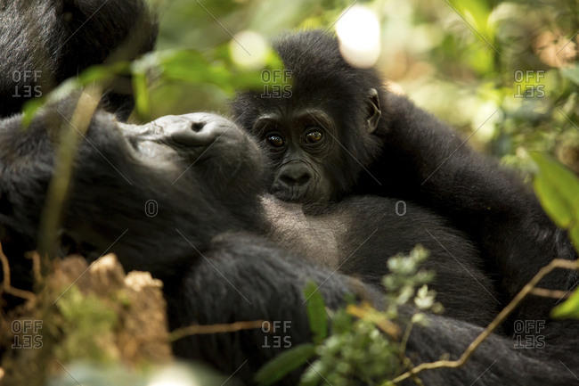 Chimpanzees in forest