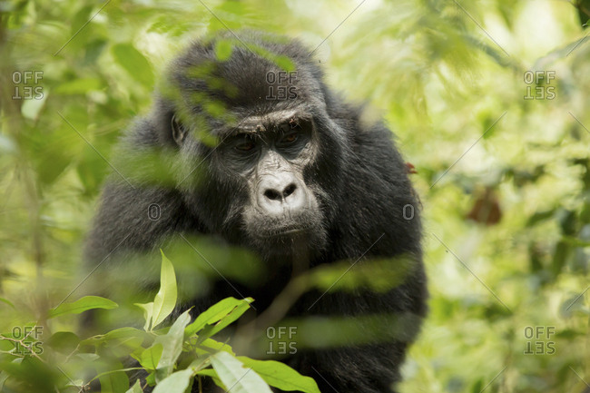 Close-up of chimpanzee looking down while standing in forest
