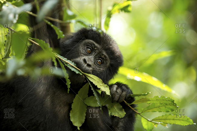 Close-up of chimpanzee eating plant in forest
