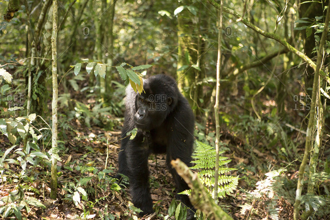 High angle view of chimpanzee walking on field in forest