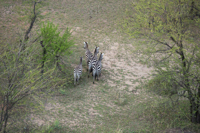 High angle view of zebras walking on field at Serengeti National Park
