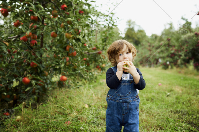 Portrait of baby boy eating apple while standing on grassy field at orchard
