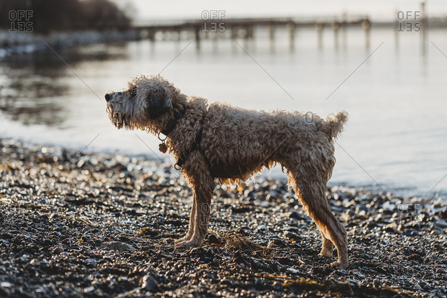 Side view of wet dog standing at beach