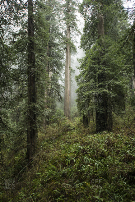Trees growing at Jedediah Smith Redwoods State Park during foggy weather