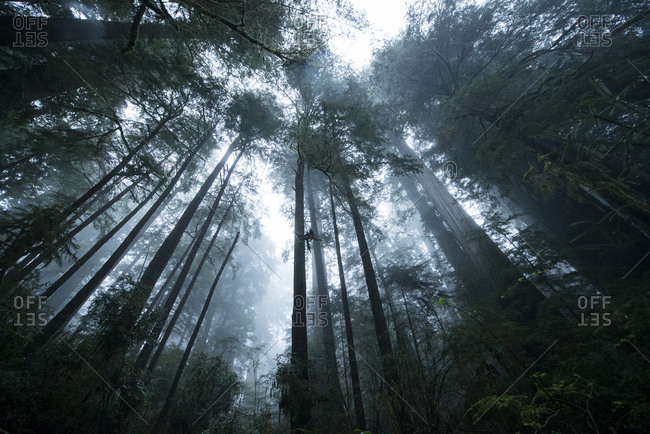 Low angle view of trees at Jedediah Smith Redwoods State Park during foggy weather